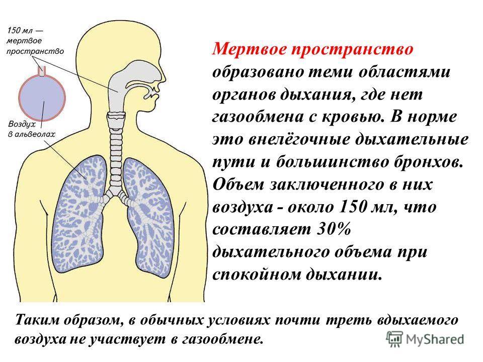 Мертвое пространство образовано теми областями органов дыхания, где нет газообмена с кровью. В норме это внелёгочные дыхательные пути и большинство бронхов. Объем заключенного в них воздуха - около 150 мл, что составляет 30% дыхательного объема при с