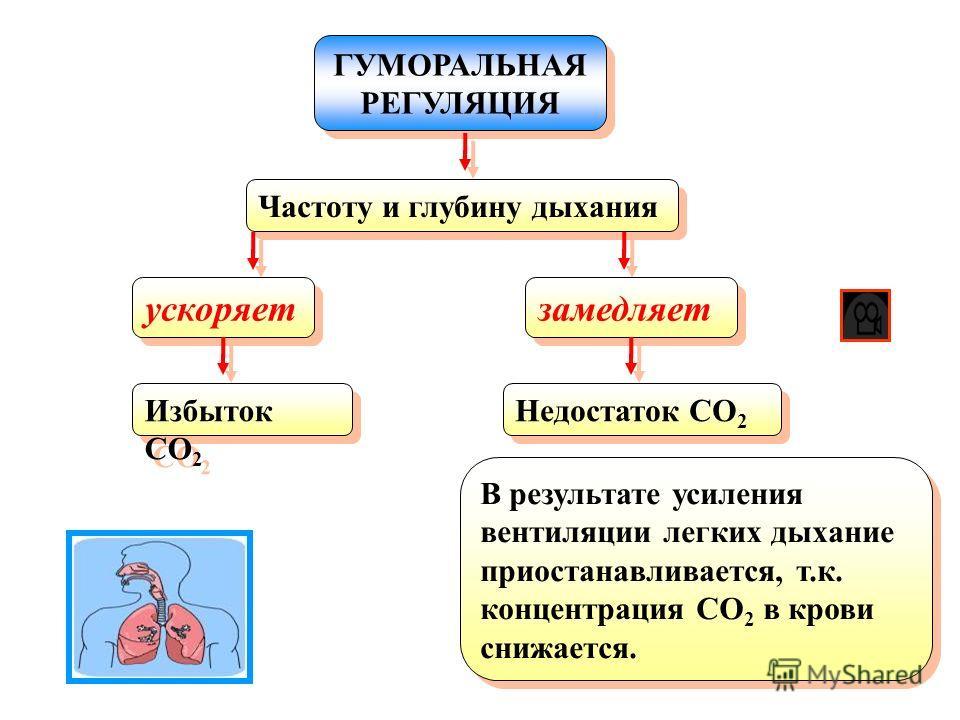 ГУМОРАЛЬНАЯ РЕГУЛЯЦИЯ ГУМОРАЛЬНАЯ РЕГУЛЯЦИЯ Частоту и глубину дыхания ускоряет Избыток CO 2 замедляет Недостаток CO 2 В результате усиления вентиляции легких дыхание приостанавливается, т.к. концентрация CO 2 в крови снижается.