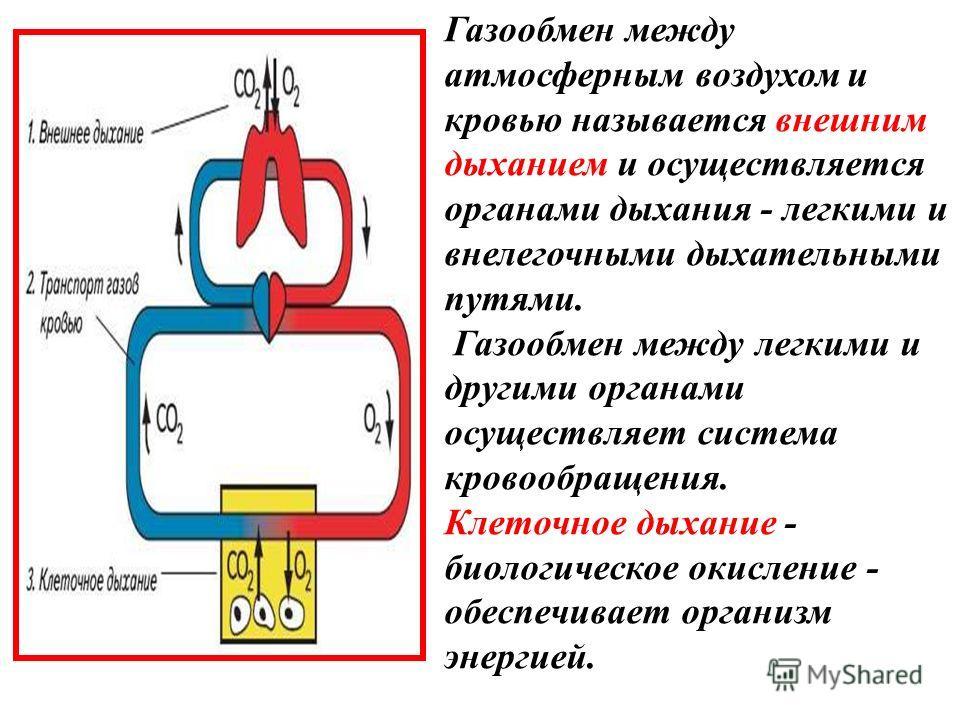 Газообмен между атмосферным воздухом и кровью называется внешним дыханием и осуществляется органами дыхания - легкими и внелегочными дыхательными путями. Газообмен между легкими и другими органами осуществляет система кровообращения. Клеточное дыхани
