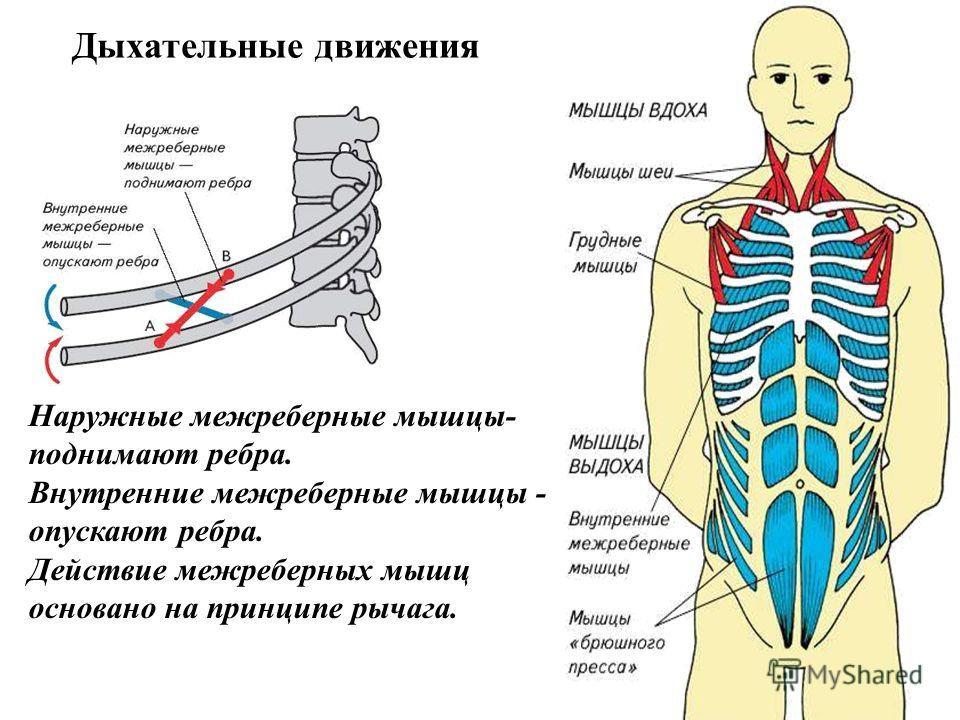 Наружные межреберные мышцы- поднимают ребра. Внутренние межреберные мышцы - опускают ребра. Действие межреберных мышц основано на принципе рычага. Дыхательные движения
