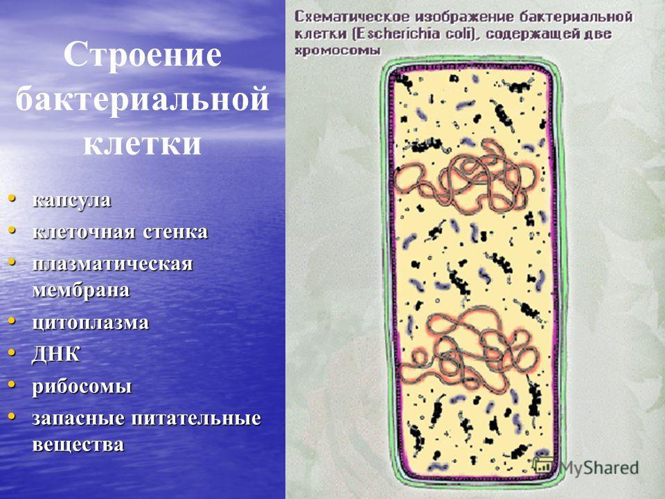 Строение бактериальной клетки капсула капсула клеточная стенка клеточная стенка плазматическая мембрана плазматическая мембрана цитоплазма цитоплазма ДНК ДНК рибосомы рибосомы запасные питательные вещества запасные питательные вещества