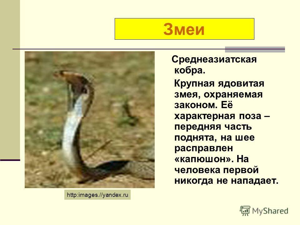 Среднеазиатская кобра. Крупная ядовитая змея, охраняемая законом. Её характерная поза – передняя часть поднята, на шее расправлен «капюшон». На человека первой никогда не нападает. Змеи http:images.//yandex.ru