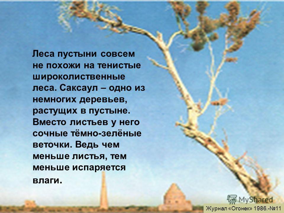 Леса пустыни совсем не похожи на тенистые широколиственные леса. Саксаул – одно из немногих деревьев, растущих в пустыне. Вместо листьев у него сочные тёмно-зелёные веточки. Ведь чем меньше листья, тем меньше испаряется влаги. Журнал «Огонек» 1986.-1