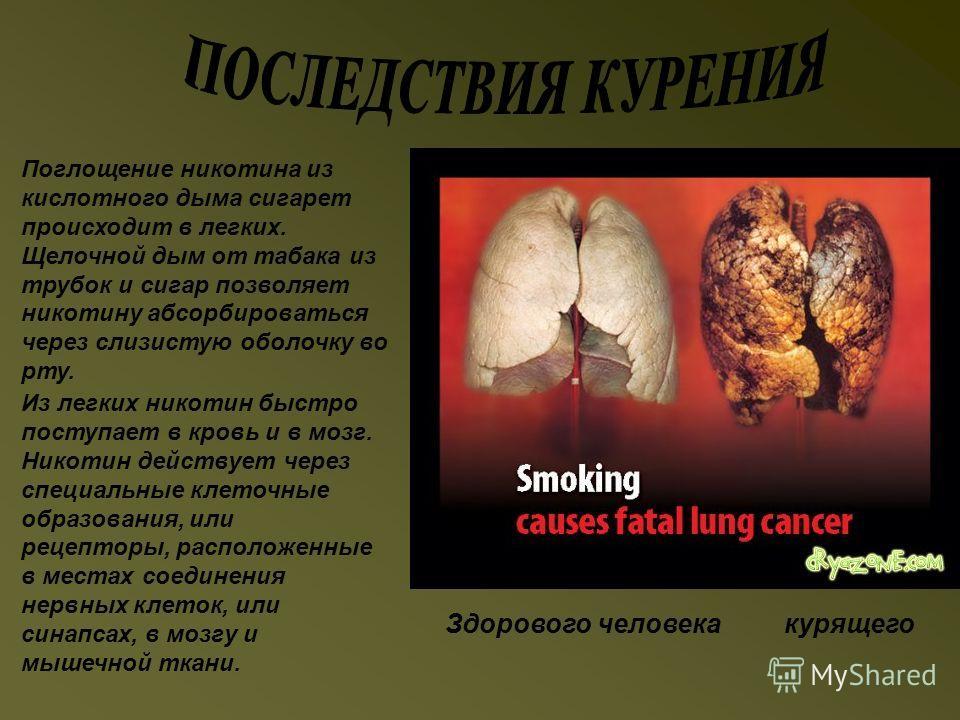 Здорового человека курящего Поглощение никотина из кислотного дыма сигарет происходит в легких. Щелочной дым от табака из трубок и сигар позволяет никотину абсорбироваться через слизистую оболочку во рту. Из легких никотин быстро поступает в кровь и