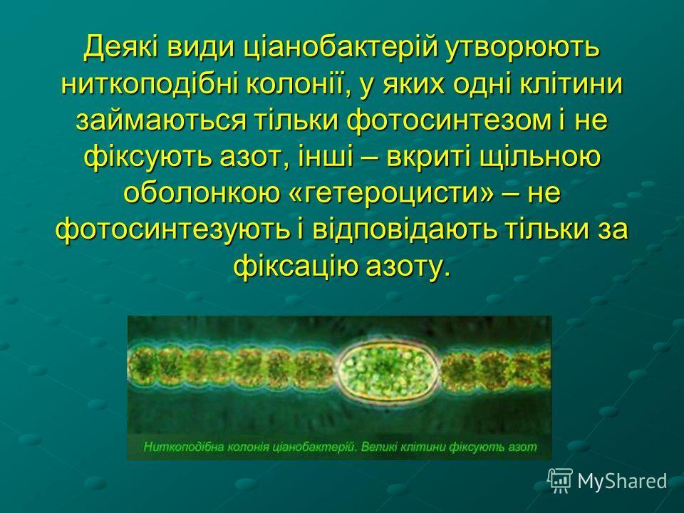 Деякі види ціанобактерій утворюють ниткоподібні колонії, у яких одні клітини займаються тільки фотосинтезом і не фіксують азот, інші – вкриті щільною оболонкою «гетероцисти» – не фотосинтезують і відповідають тільки за фіксацію азоту.