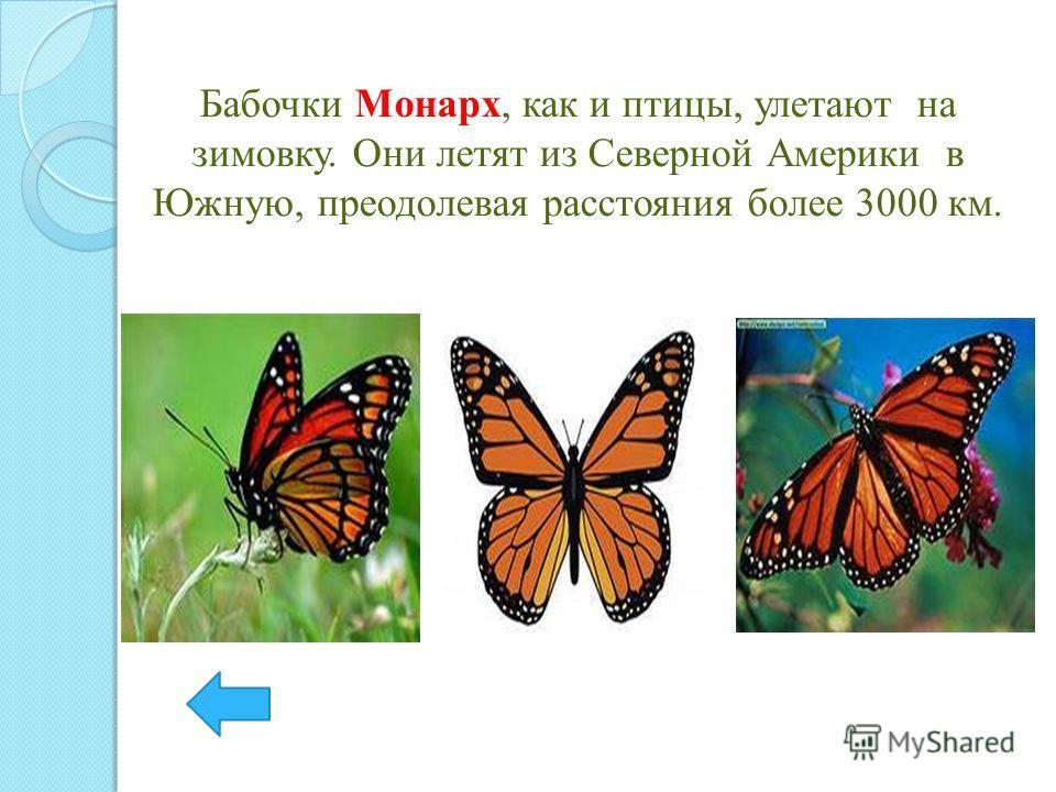 Бабочки Монарх, как и птицы, улетают на зимовку. Они летят из Северной Америки в Южную, преодолевая расстояния более 3000 км.