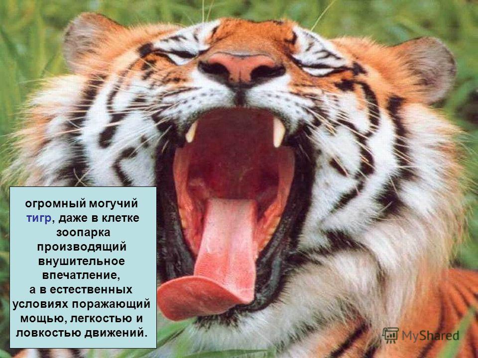огромный могучий тигр, даже в клетке зоопарка производящий внушительное впечатление, а в естественных условиях поражающий мощью, легкостью и ловкостью движений.