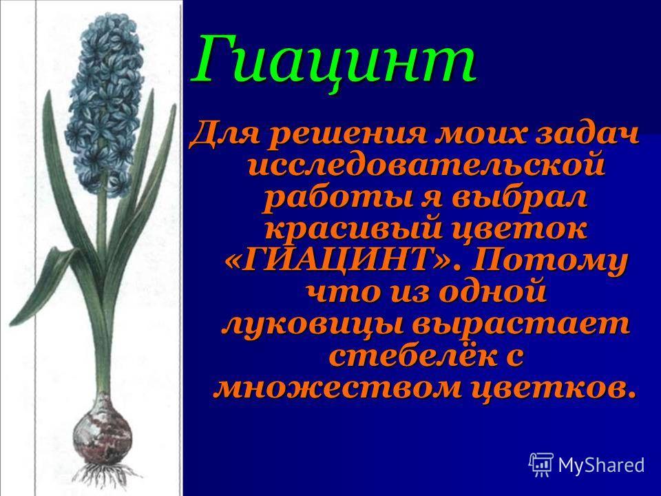 Гиацинт Для решения моих задач исследовательской работы я выбрал красивый цветок «ГИАЦИНТ». Потому что из одной луковицы вырастает стебелёк с множеством цветков. Для решения моих задач исследовательской работы я выбрал красивый цветок «ГИАЦИНТ». Пото