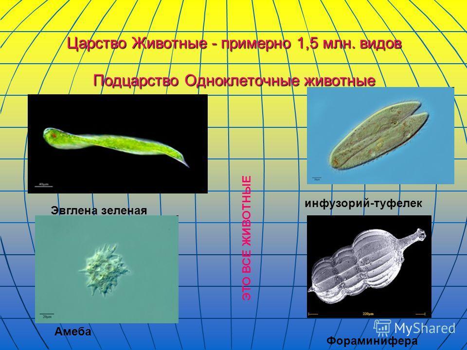 Царство Животные - примерно 1,5 млн. видов Подцарство Одноклеточные животные Эвглена зеленая инфузорий-туфелек Амеба Фораминифера ЭТО ВСЕ ЖИВОТНЫЕ