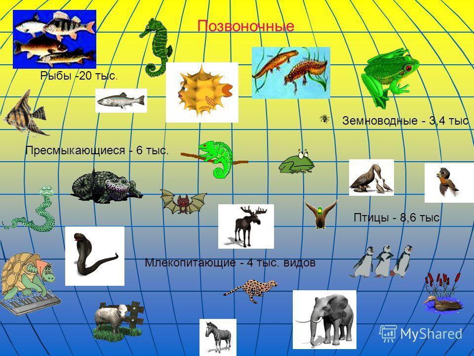 Позвоночные Млекопитающие - 4 тыс. видов Птицы - 8,6 тыс Земноводные - 3,4 тыс Рыбы -20 тыс. Пресмыкающиеся - 6 тыс.