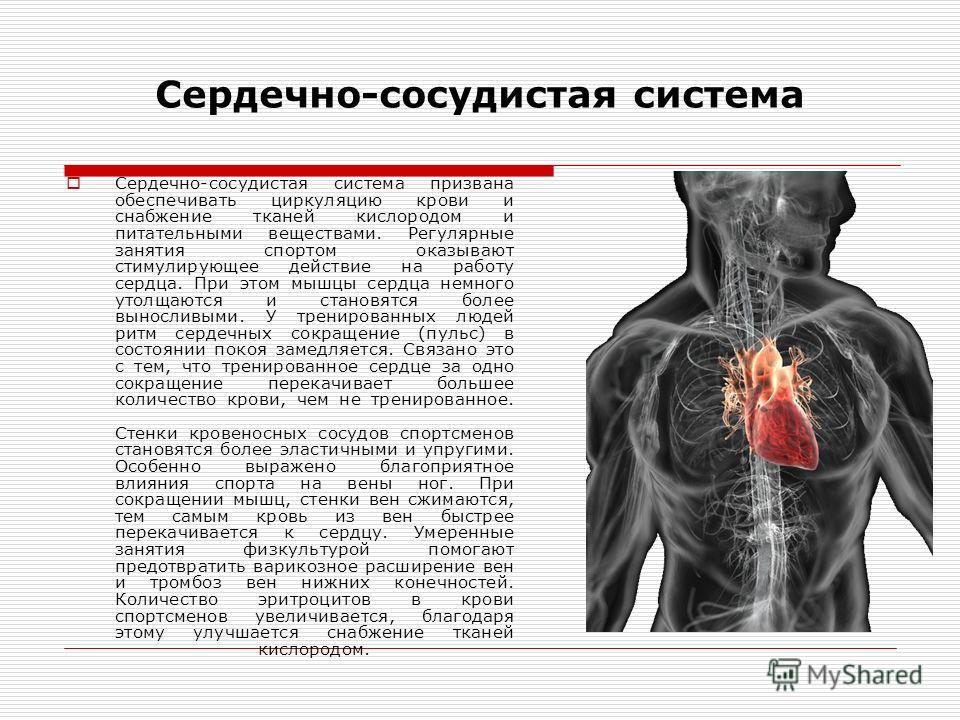 Сердечно-сосудистая система призвана обеспечивать циркуляцию крови и снабжение тканей кислородом и питательными веществами. Регулярные занятия спортом оказывают стимулирующее действие на работу сердца. При этом мышцы сердца немного утолщаются и стано