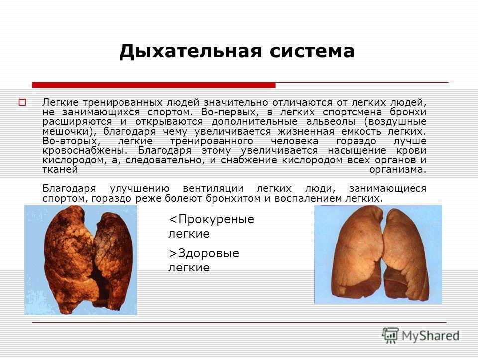 Дыхательная система Легкие тренированных людей значительно отличаются от легких людей, не занимающихся спортом. Во-первых, в легких спортсмена бронхи расширяются и открываются дополнительные альвеолы (воздушные мешочки), благодаря чему увеличивается