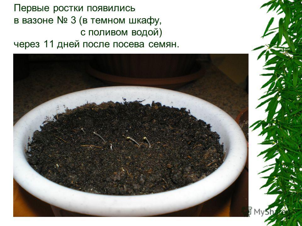 Первые ростки появились в вазоне 3 (в темном шкафу, с поливом водой) через 11 дней после посева семян.