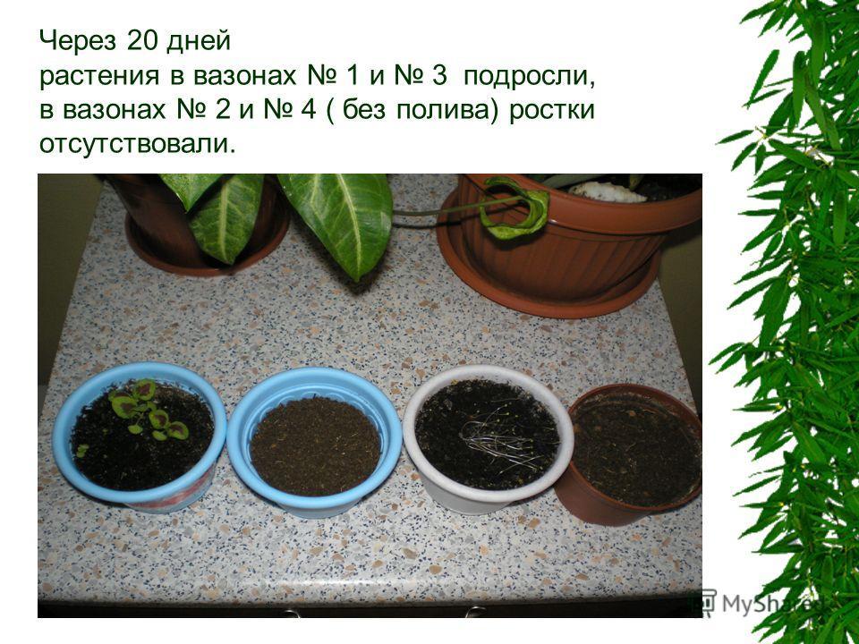 Через 20 дней растения в вазонах 1 и 3 подросли, в вазонах 2 и 4 ( без полива) ростки отсутствовали.