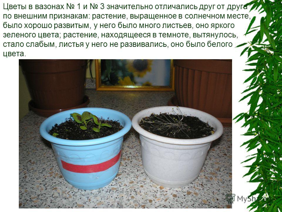 Цветы в вазонах 1 и 3 значительно отличались друг от друга по внешним признакам: растение, выращенное в солнечном месте, было хорошо развитым, у него было много листьев, оно яркого зеленого цвета; растение, находящееся в темноте, вытянулось, стало сл