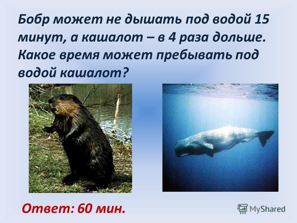 Бобр может не дышать под водой 15 минут, а кашалот – в 4 раза дольше. Какое время может пребывать под водой кашалот? Ответ: 60 мин.