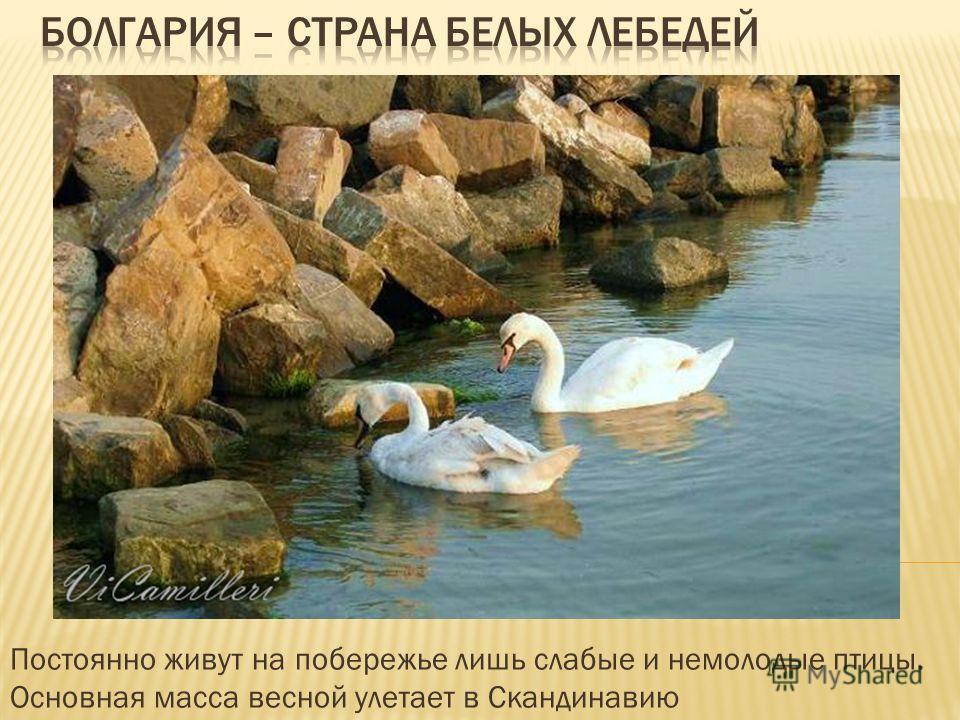 Постоянно живут на побережье лишь слабые и немолодые птицы. Основная масса весной улетает в Скандинавию