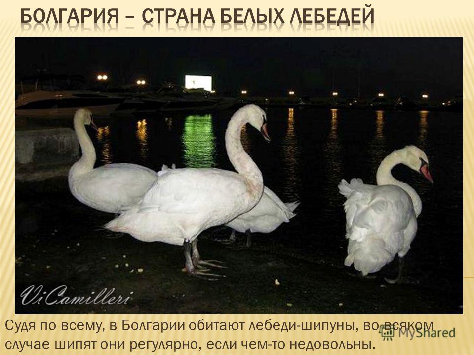 Судя по всему, в Болгарии обитают лебеди-шипуны, во всяком случае шипят они регулярно, если чем-то недовольны.