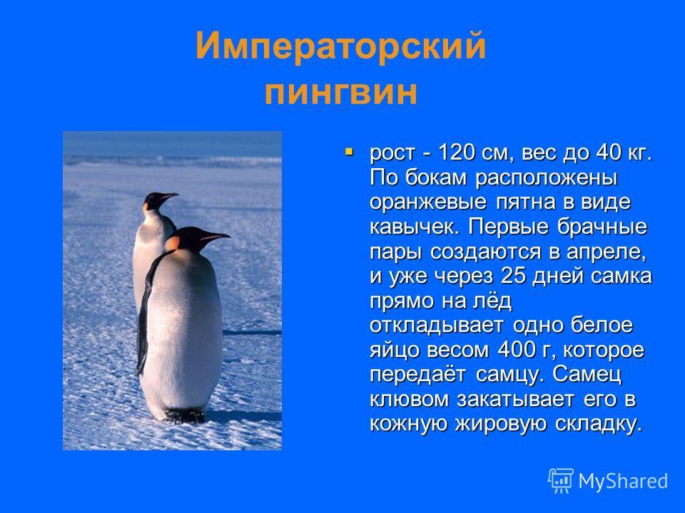 Императорский пингвин рост - 120 см, вес до 40 кг. По бокам расположены оранжевые пятна в виде кавычек. Первые брачные пары создаются в апреле, и уже через 25 дней самка прямо на лёд откладывает одно белое яйцо весом 400 г, которое передаёт самцу. Са