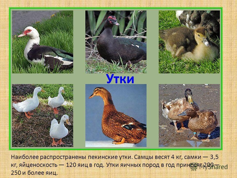 Утки Наиболее распространены пекинские утки. Самцы весят 4 кг, самки 3,5 кг, яйценоскость 120 яиц в год. Утки яичных пород в год приносят 200 250 и более яиц.