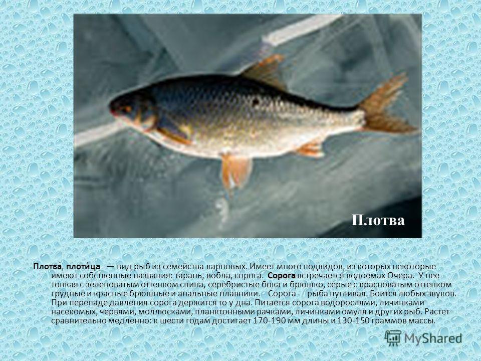 Сорога Плотва́, плоти́ца вид рыб из семейства карповых. Имеет много подвидов, из которых некоторые имеют собственные названия: тарань, вобла, сорога. Сорога встречается водоемах Очера. У нее тонкая с зеленоватым оттенком спина, серебристые бока и брю