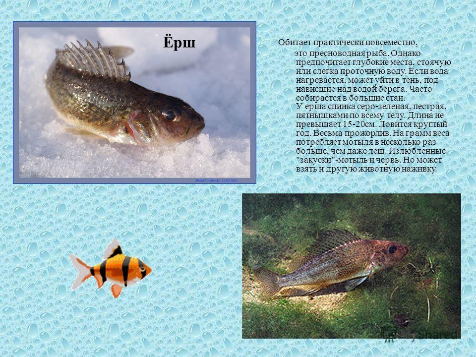 Обитает практически повсеместно, это пресноводная рыба. Однако предпочитает глубокие места, стоячую или слегка проточную воду. Если вода нагревается, может уйти в тень, под нависшие над водой берега. Часто собирается в большие стаи. У ерша спинка сер