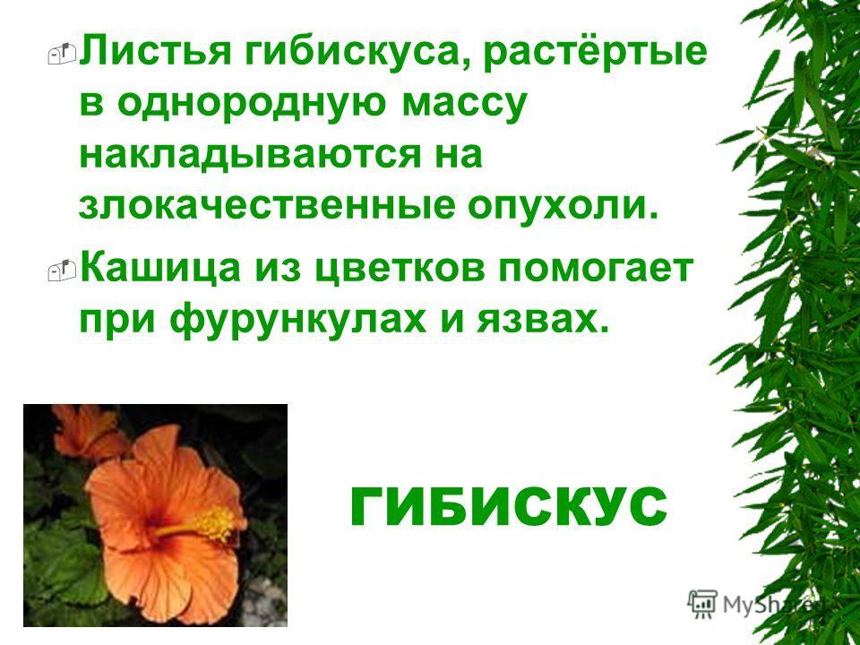 ГИБИСКУС Листья гибискуса, растёртые в однородную массу накладываются на злокачественные опухоли. Кашица из цветков помогает при фурункулах и язвах.