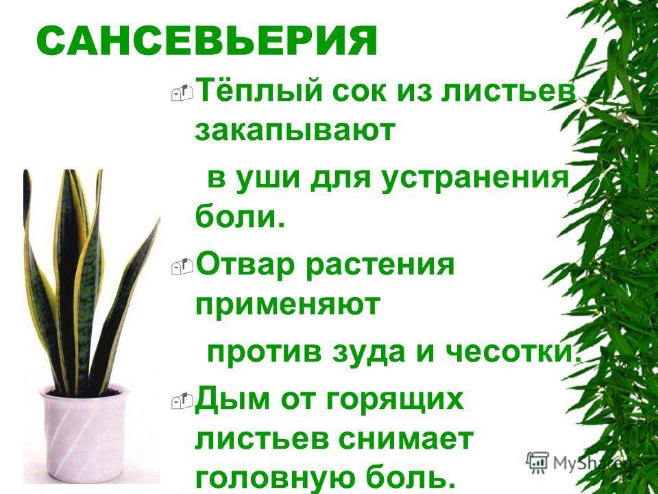 САНСЕВЬЕРИЯ Тёплый сок из листьев закапывают в уши для устранения боли. Отвар растения применяют против зуда и чесотки. Дым от горящих листьев снимает головную боль.
