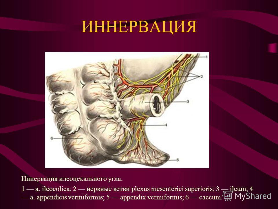 ЛИМФАТИЧЕСКАЯ СИСТЕМА Лимфатические сосуды и узлы илеоцекального угла (вид сзади). 1 caecum; 2 appendix vermiformis; 3 лимфатические сосуды брыжейки червеобразного отростка; 4 ileum; 5 илеоцекальные узлы; 6 a. ileocolica.