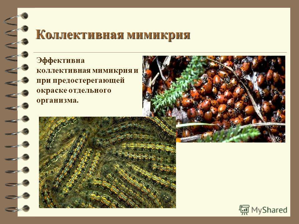 Коллективная мимикрия Эффективна коллективная мимикрия и при предостерегающей окраске отдельного организма.