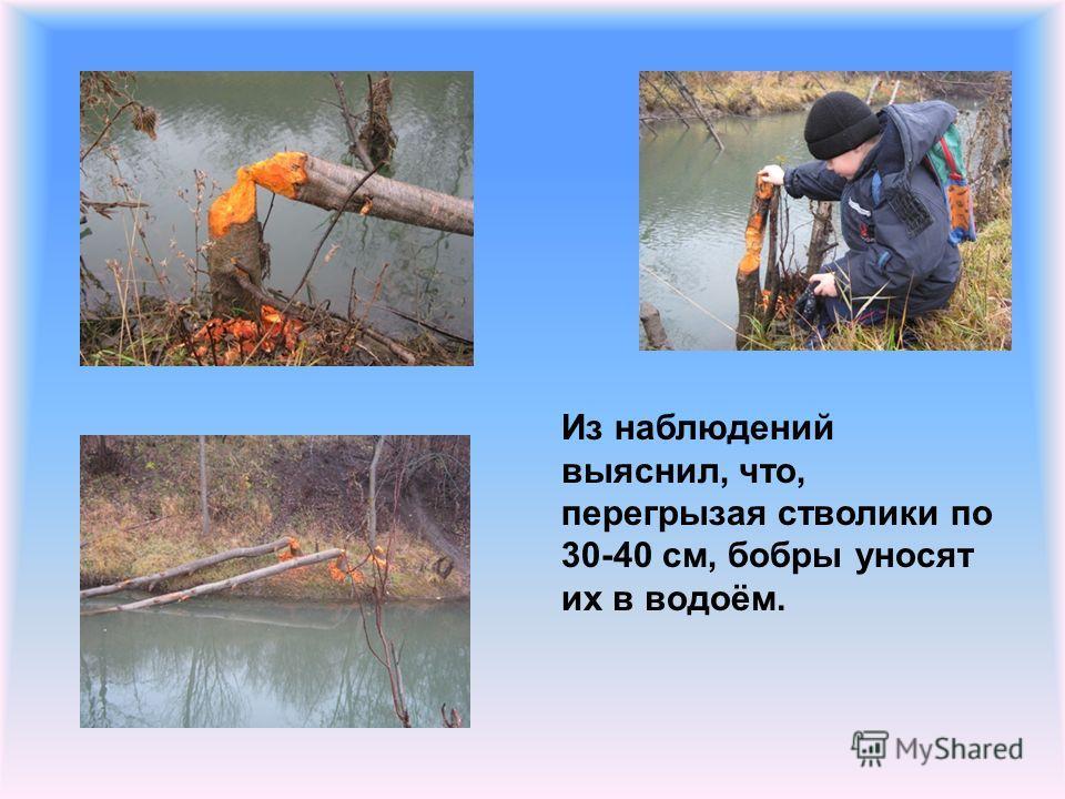 Из наблюдений выяснил, что, перегрызая стволики по 30-40 см, бобры уносят их в водоём.