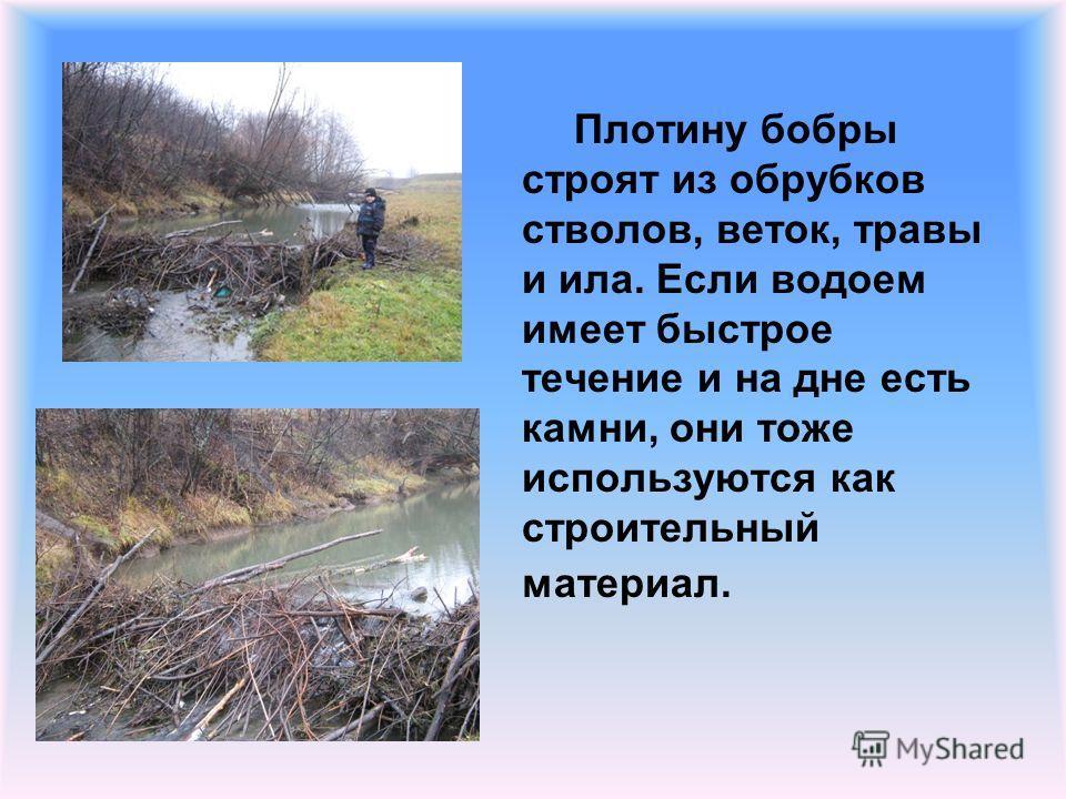 Плотину бобры строят из обрубков стволов, веток, травы и ила. Если водоем имеет быстрое течение и на дне есть камни, они тоже используются как строительный материал.