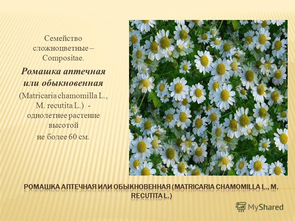 Семейство сложноцветные – Compositae. Ромашка аптечная или обыкновенная (Matricaria chamomilla L., M. recutita L.) - однолетнее растение высотой не более 60 см.
