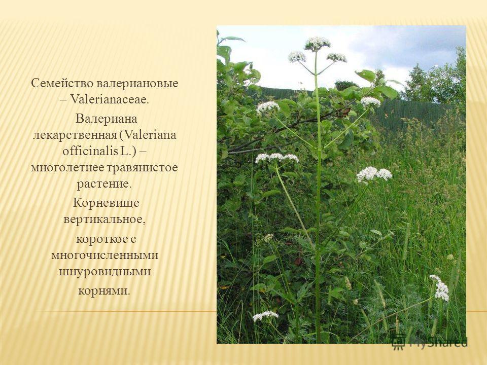 Семейство валериановые – Valerianaceae. Валериана лекарственная (Valeriana officinalis L.) – многолетнее травянистое растение. Корневище вертикальное, короткое с многочисленными шнуровидными корнями.