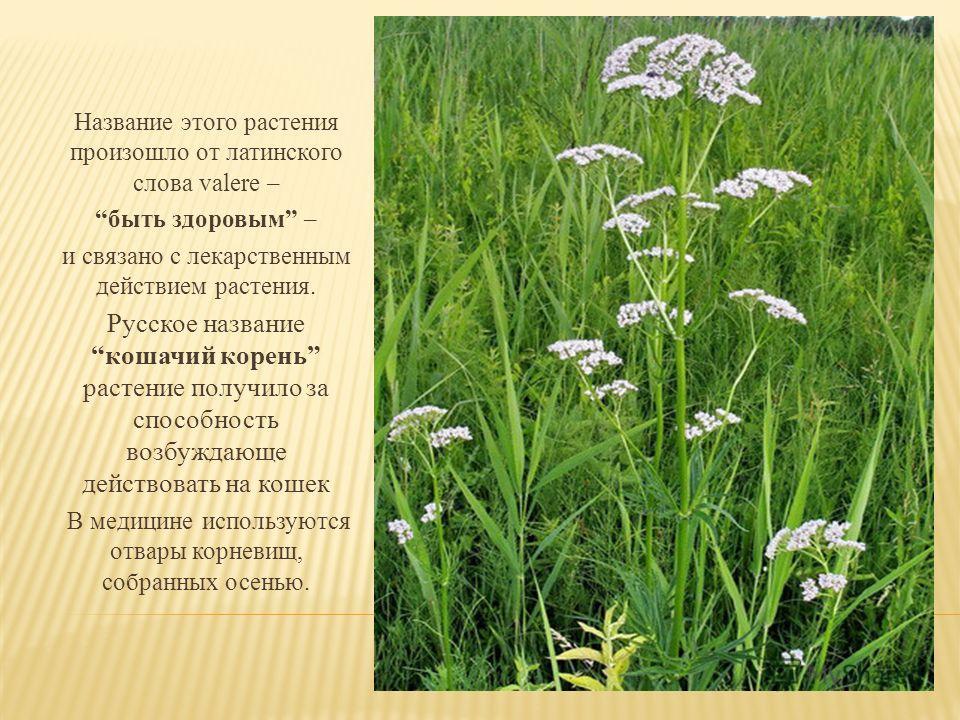 Название этого растения произошло от латинского слова valere – быть здоровым – и связано с лекарственным действием растения. Русское название кошачий корень растение получило за способность возбуждающе действовать на кошек В медицине используются отв