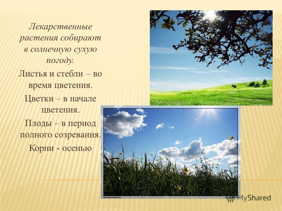 Лекарственные растения собирают в солнечную сухую погоду. Листья и стебли – во время цветения. Цветки – в начале цветения. Плоды – в период полного созревания. Корни - осенью