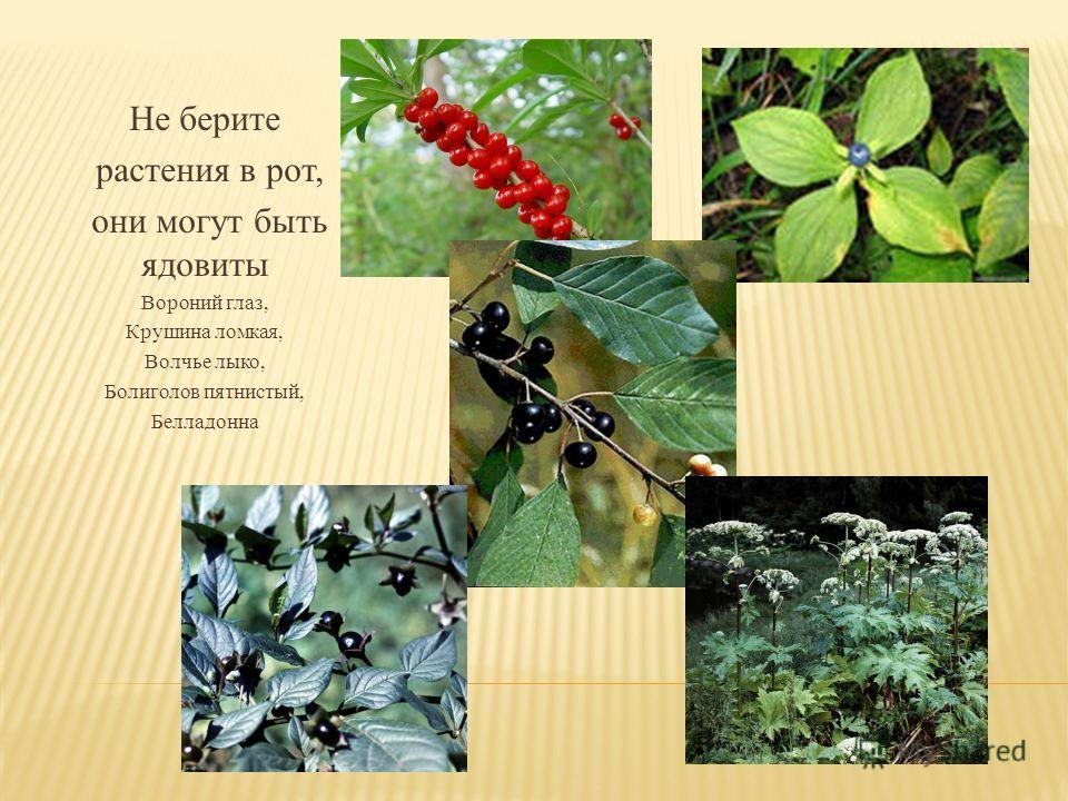 Не берите растения в рот, они могут быть ядовиты Вороний глаз, Крушина ломкая, Волчье лыко, Болиголов пятнистый, Белладонна