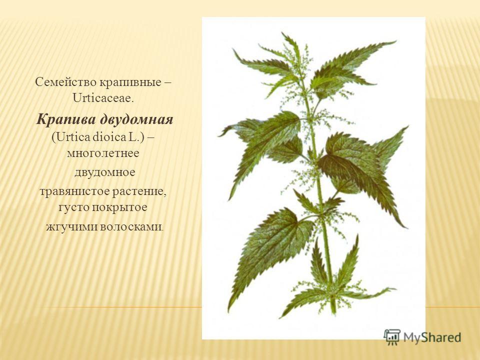 Семейство крапивные – Urticaceae. Крапива двудомная (Urtica dioica L.) – многолетнее двудомное травянистое растение, густо покрытое жгучими волосками.