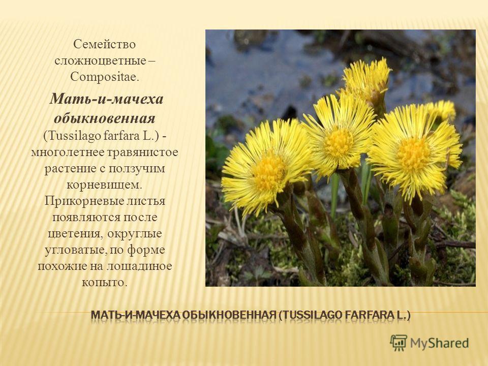 Семейство сложноцветные – Compositae. Мать-и-мачеха обыкновенная (Tussilago farfara L.) - многолетнее травянистое растение с ползучим корневищем. Прикорневые листья появляются после цветения, округлые угловатые, по форме похожие на лошадиное копыто.