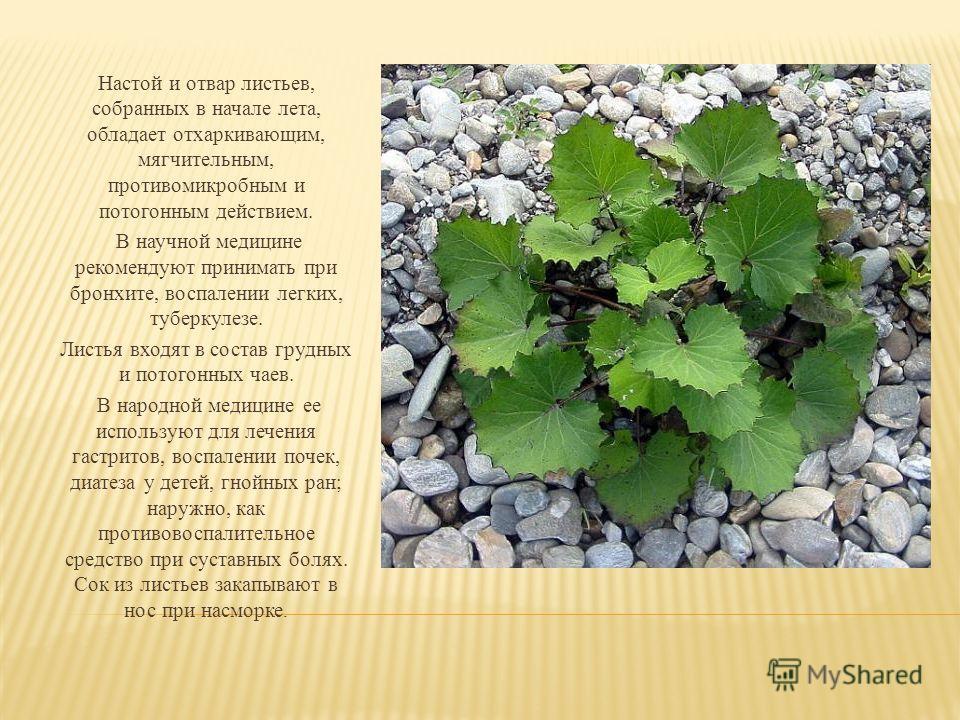 Настой и отвар листьев, собранных в начале лета, обладает отхаркивающим, мягчительным, противомикробным и потогонным действием. В научной медицине рекомендуют принимать при бронхите, воспалении легких, туберкулезе. Листья входят в состав грудных и по