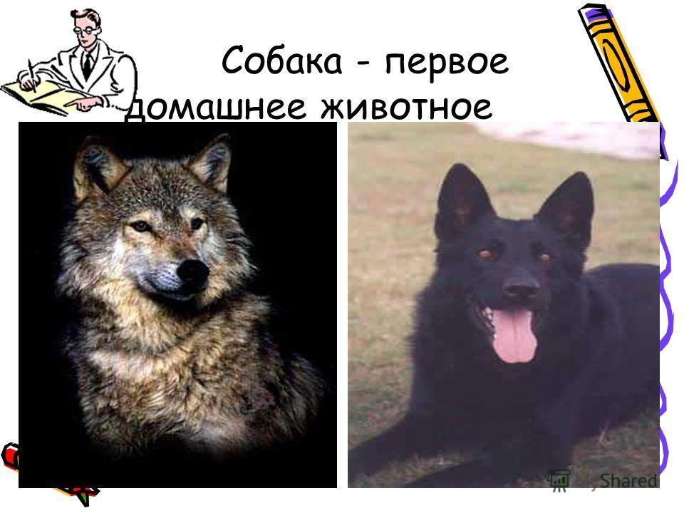 Собака - первое домашнее животное