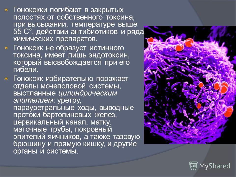 Гонококки погибают в закрытых полостях от собственного токсина, при высыхании, температуре выше 55 С°, действии антибиотиков и ряда химических препаратов. Гонококк не образует истинного токсина, имеет лишь эндотоксин, который высвобождается при его г