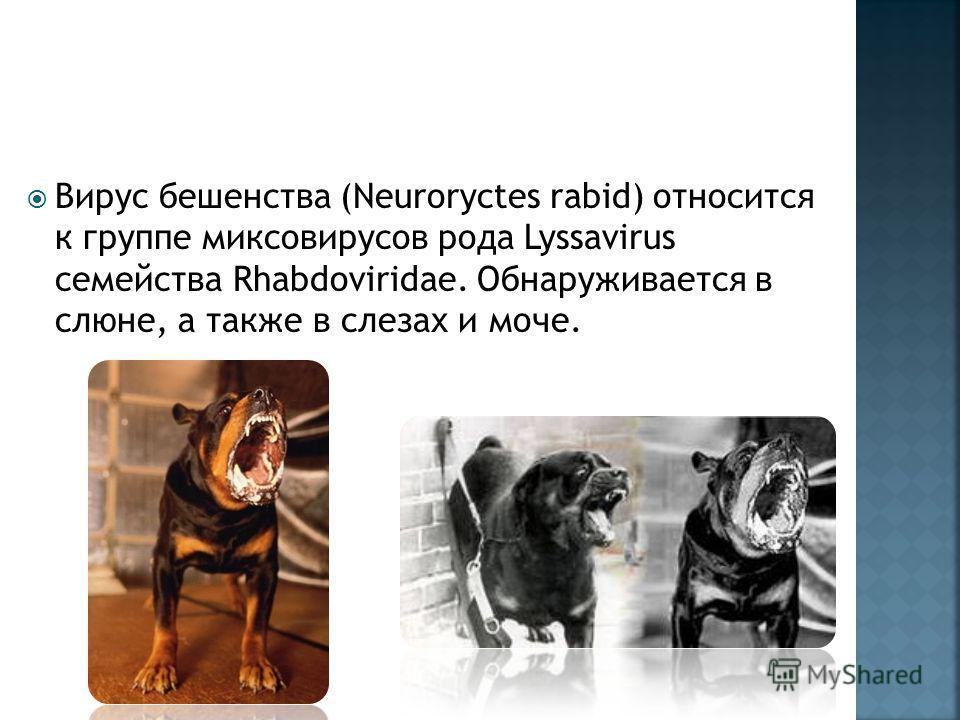 Вирус бешенства (Neuroryctes rabid) относится к группе миксовирусов рода Lyssavirus семейства Rhabdoviridae. Обнаруживается в слюне, а также в слезах и моче.