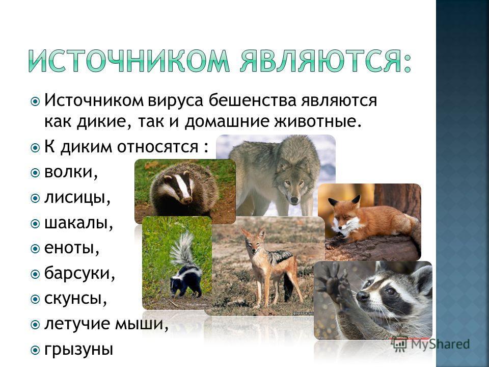 Источником вируса бешенства являются как дикие, так и домашние животные. К диким относятся : волки, лисицы, шакалы, еноты, барсуки, скунсы, летучие мыши, грызуны