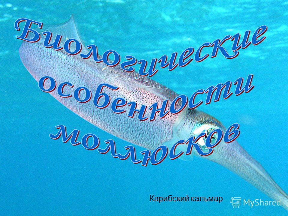 Карибский кальмар