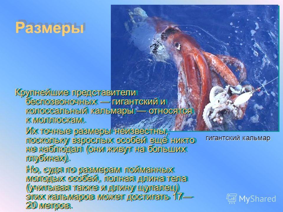 Крупнейшие представители беспозвоночных гигантский и колоссальный кальмары относятся к моллюскам. Их точные размеры неизвестны, поскольку взрослых особей ещё никто не наблюдал (они живут на больших глубинах). Но, судя по размерам пойманных молодых ос