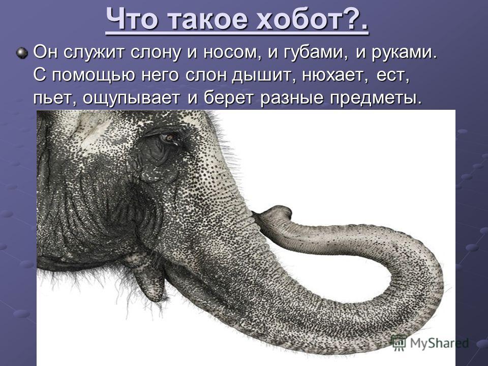 Для чего слону такие большие уши? Своими огромными ушами слон обмахивается когда ему жарко. Своими огромными ушами слон обмахивается когда ему жарко.