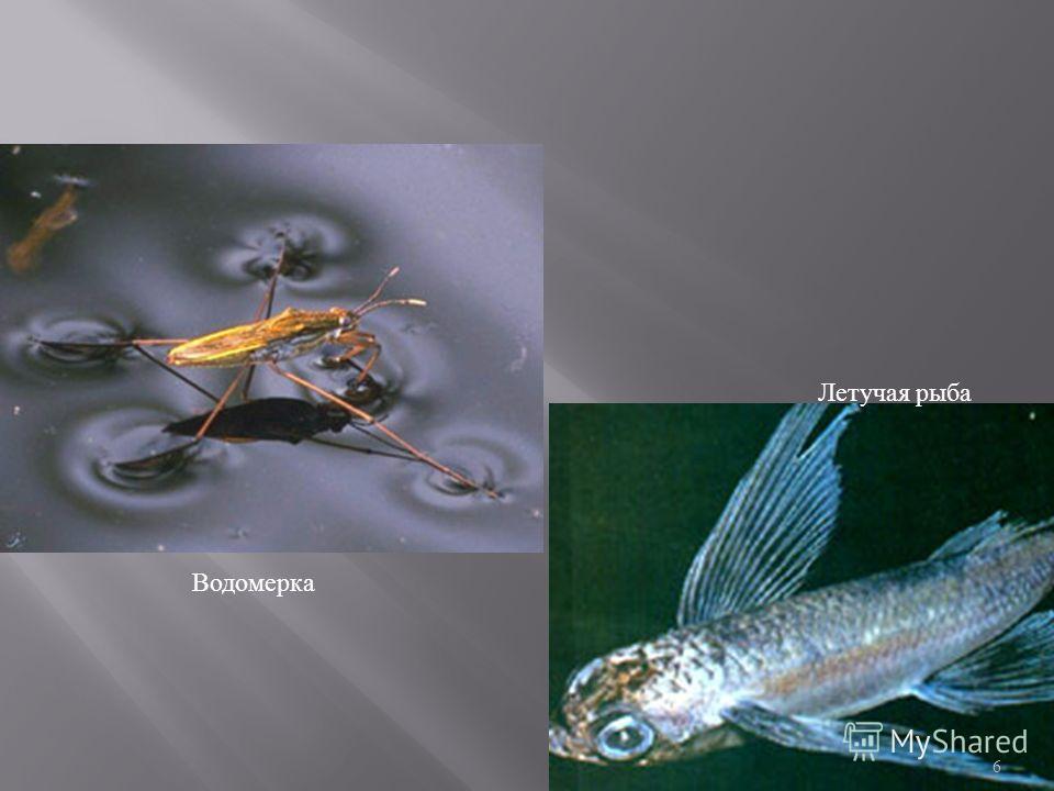 Водомерка Летучая рыба 6