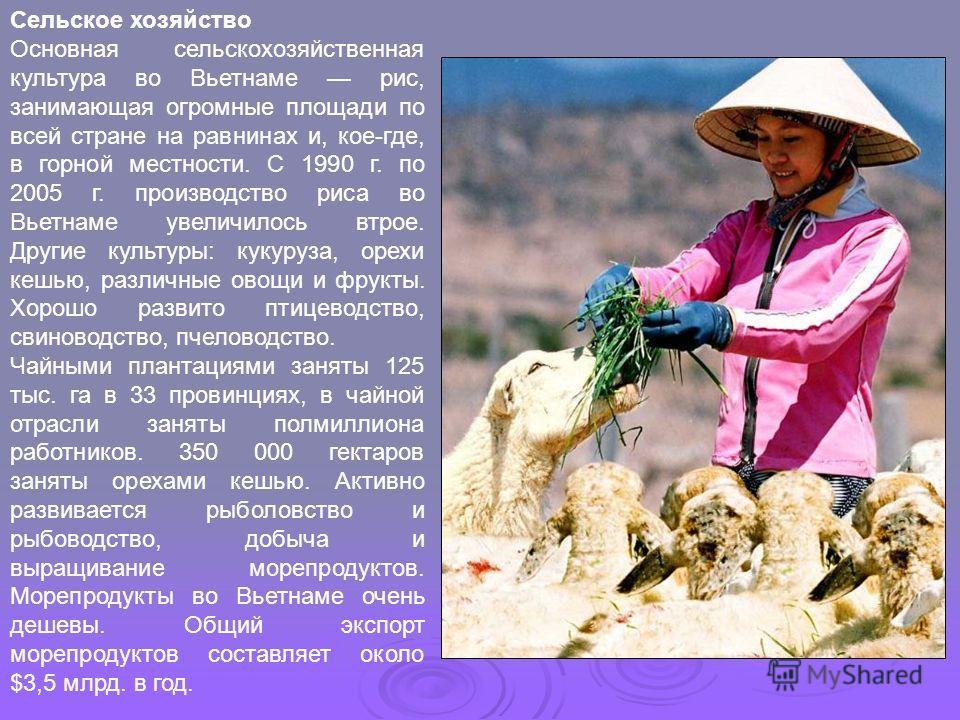 Сельское хозяйство Основная сельскохозяйственная культура во Вьетнаме рис, занимающая огромные площади по всей стране на равнинах и, кое-где, в горной местности. С 1990 г. по 2005 г. производство риса во Вьетнаме увеличилось втрое. Другие культуры: к