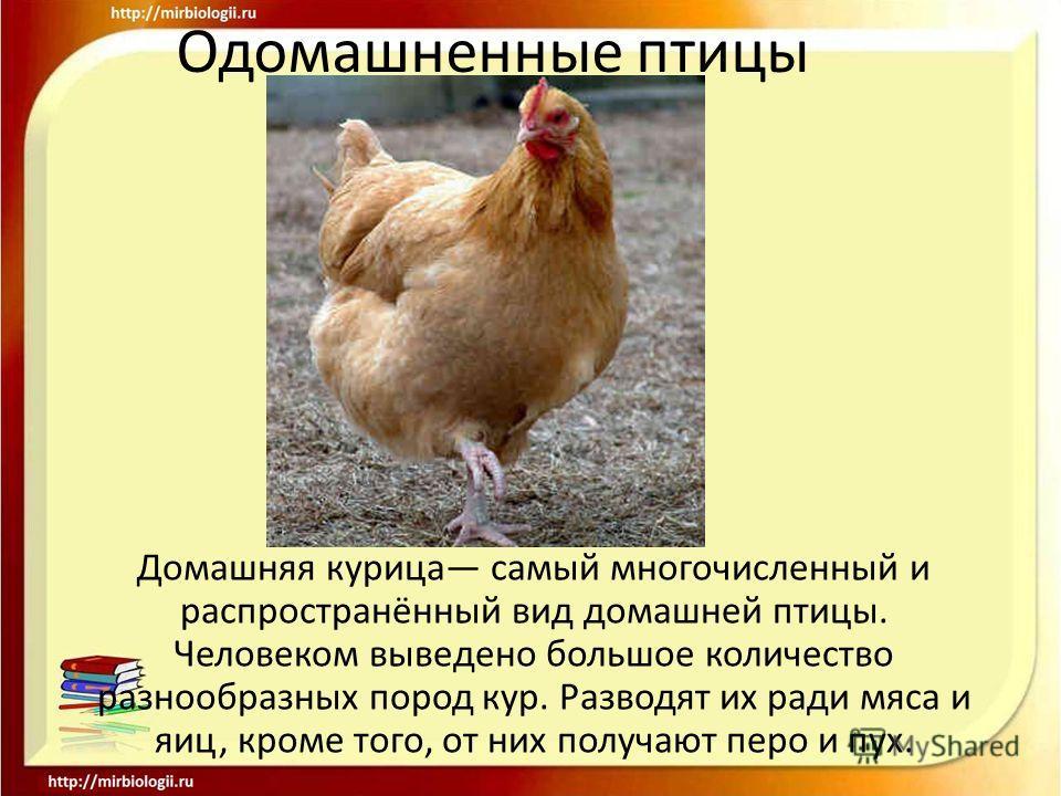 Одомашненные птицы Домашняя курица самый многочисленный и распространённый вид домашней птицы. Человеком выведено большое количество разнообразных пород кур. Разводят их ради мяса и яиц, кроме того, от них получают перо и пух.